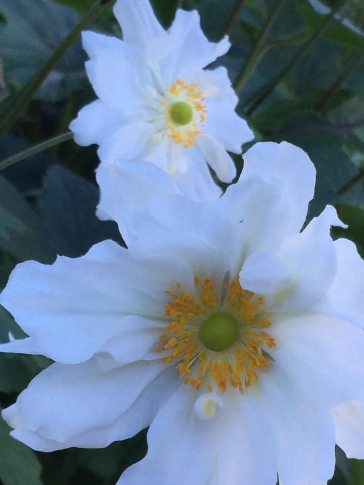 Anemone × hybrida 'Whirlwind'